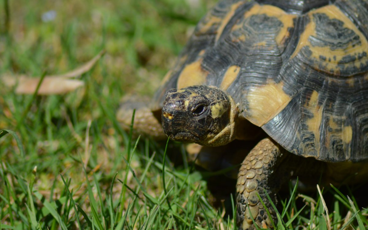La cité des tortues A Cupulatta
